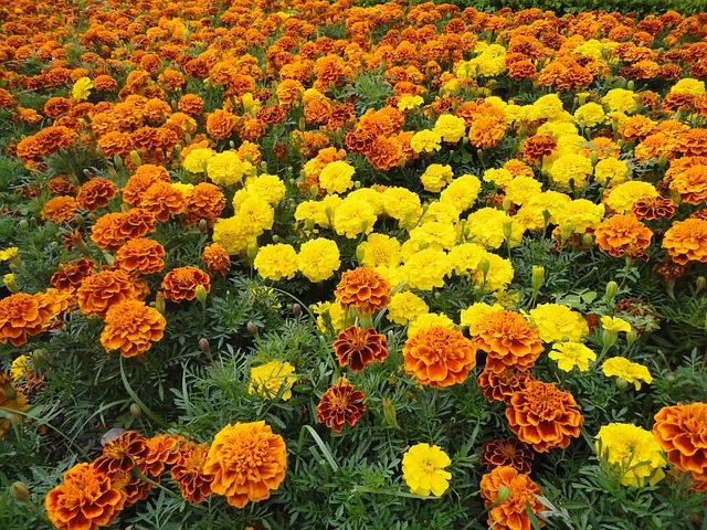 死者の日の花、マリーゴールドはメキシコ原産、そして太陽を表しています。