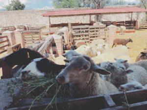 ヤギの餌やり体験もできちゃうFinca VAI